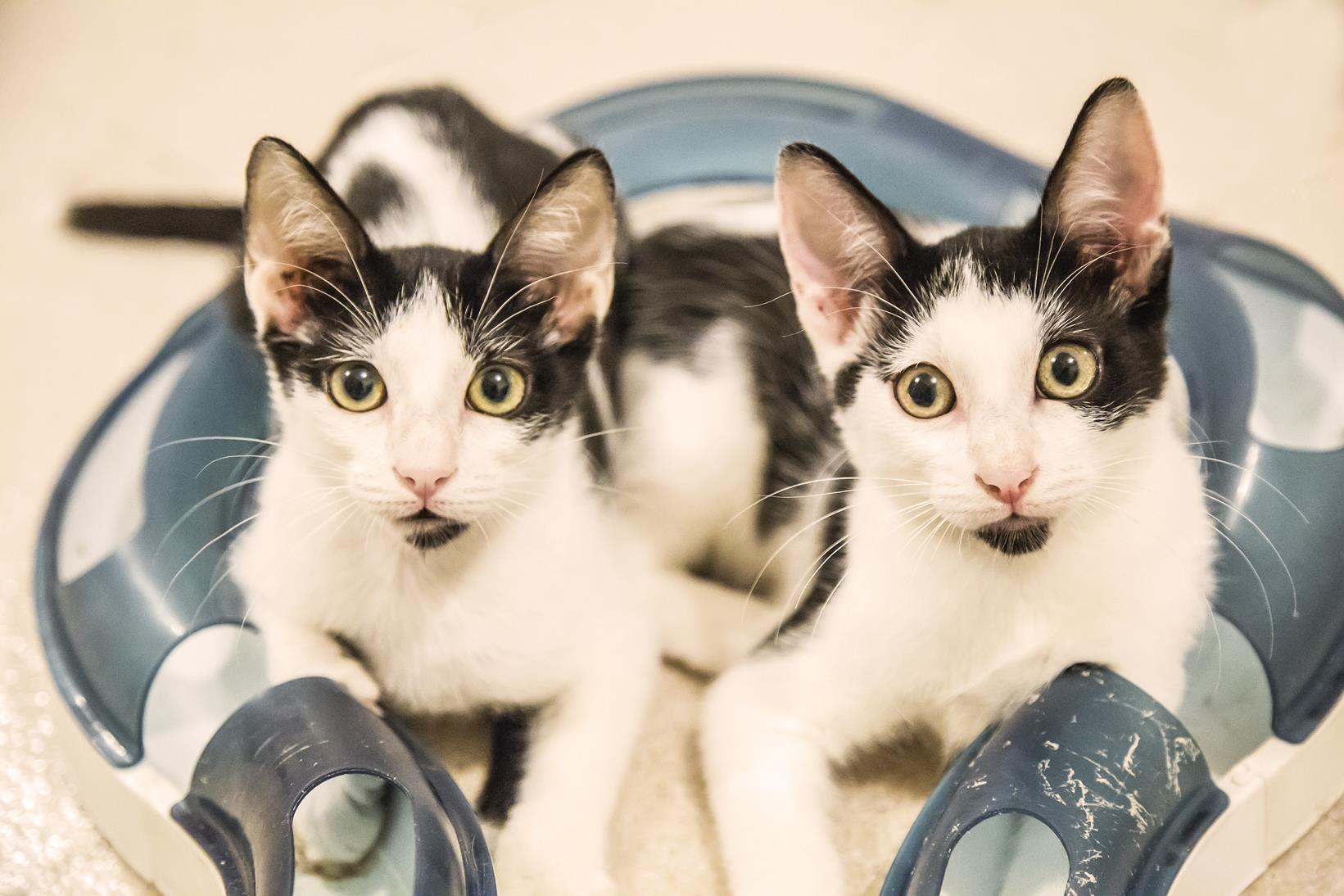 Adoptar dos gatos